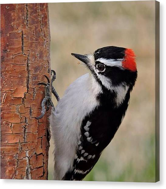 Woodpeckers Canvas Print - Male Downy Woodpecker In Aurora by Connor Beekman