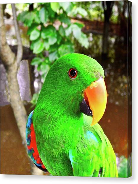 Male Eclectus Parrot II Canvas Print