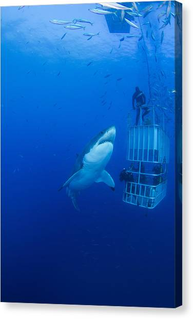 Life-threatening Canvas Print - Male Great White With Cage, Guadalupe by Todd Winner