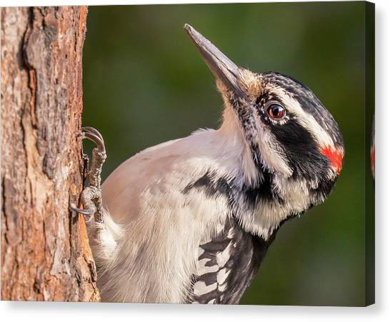 Woodpeckers Canvas Print - Male Hairy Woodpecker In Minnesota by Jim Hughes