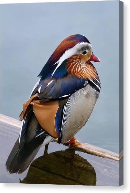 Canvas Print featuring the photograph Male Mandarin Duck Perching On Submerged Plank by Menega Sabidussi