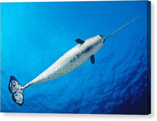 Flipper Canvas Print - Male Narwhal by Dave Fleetham - Printscapes