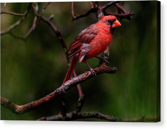 Male Northern Cardinal Canvas Print
