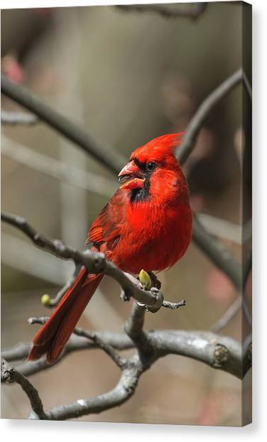 Male Northern Cardinal In Spring Canvas Print