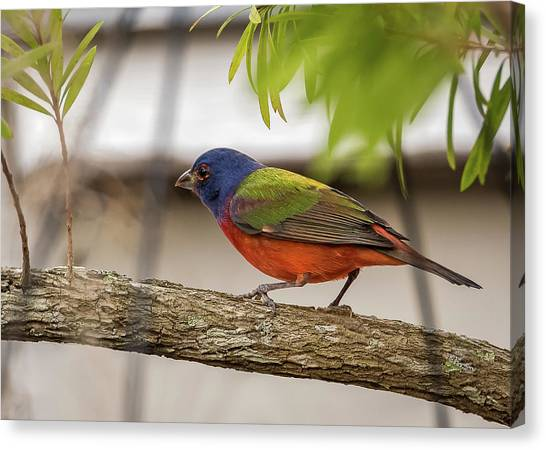 Male Painted Bunting Canvas Print