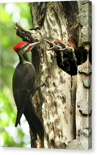 Male Pileated Woodpecker At Nest Canvas Print