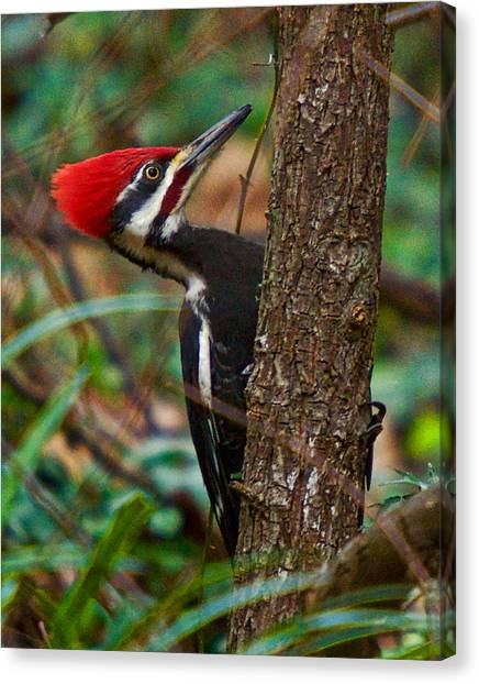 Canvas Print featuring the photograph Male Pileated Woodpecker by Robert L Jackson