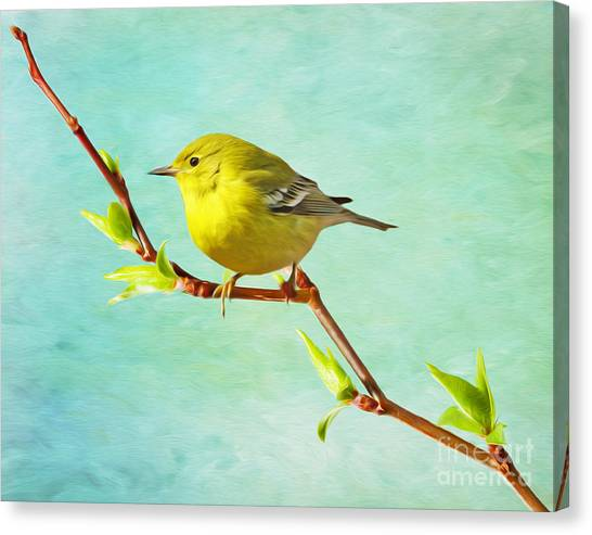 Warblers Canvas Print - Male Pine Warbler On Forsythia Branch by Laura D Young