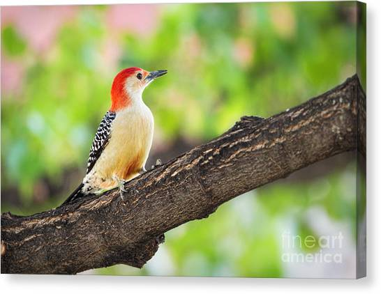 Male Red-bellied Woodpecker Canvas Print