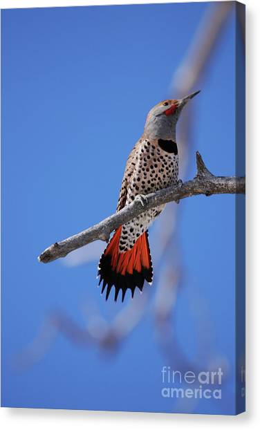 Male Red Shafted Northern Flicker Canvas Print