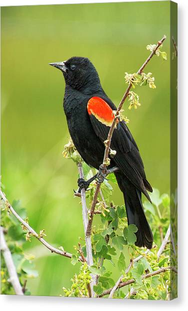Canvas Print featuring the photograph Male Red-winged Blackbird by Belinda Greb