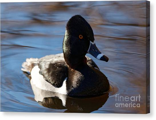 Male Ring-necked Duck Canvas Print