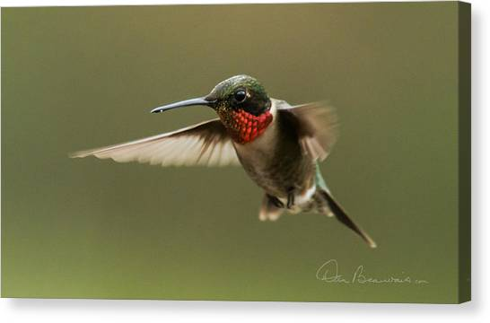 Male Ruby-throated Hummingbird 6794 Canvas Print