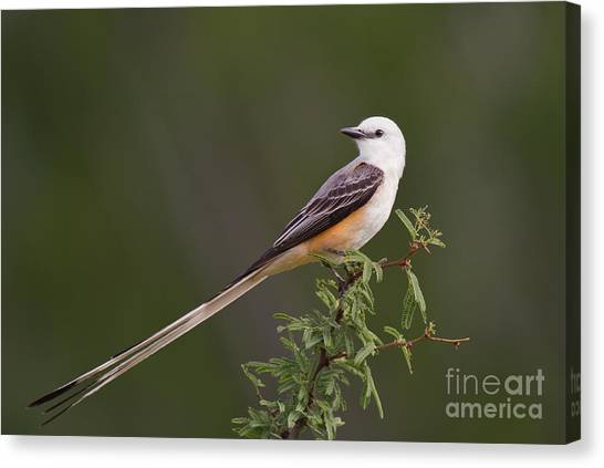 Male Scissor-tail Flycatcher Tyrannus Forficatus Wild Texas Canvas Print