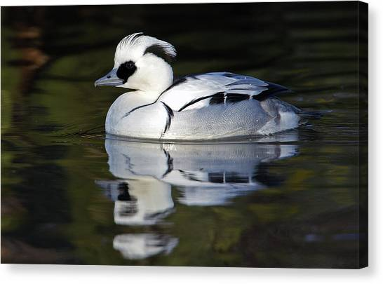 Male Smew Canvas Print