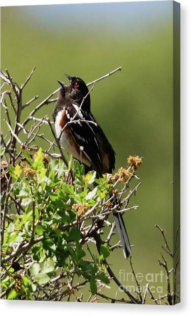 Male Spotted Towhee Canvas Print