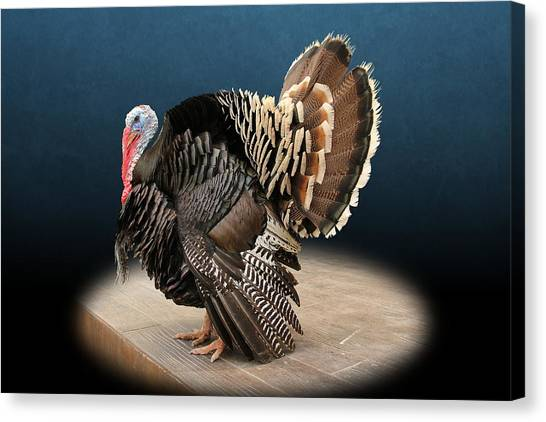 Male Turkey Strutting Canvas Print