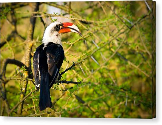 Hornbill Canvas Print - Male Von Der Decken's Hornbill by Adam Romanowicz