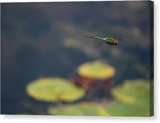 Malibu Blue Dragonfly Flying Over Lotus Pond Canvas Print