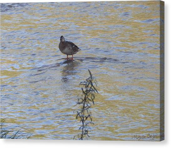 Mallard And The Branch Canvas Print