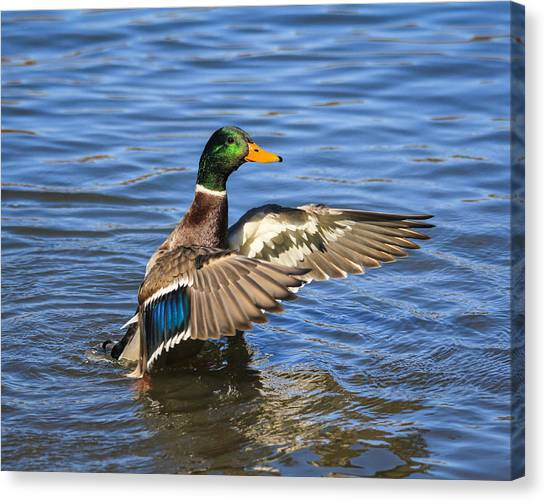 Mallard Drake In The Water Canvas Print