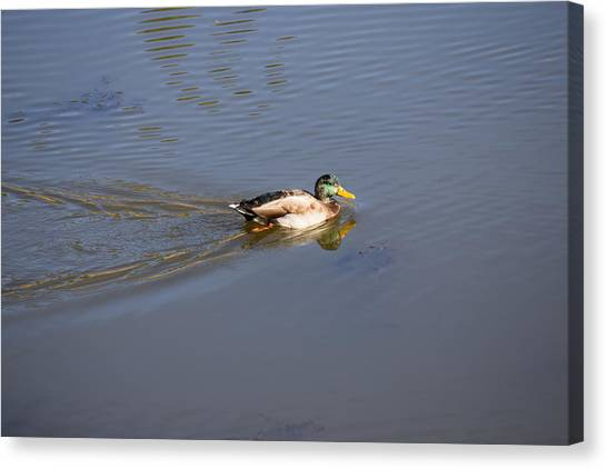 Mallard Duck Burgess Res Co Canvas Print