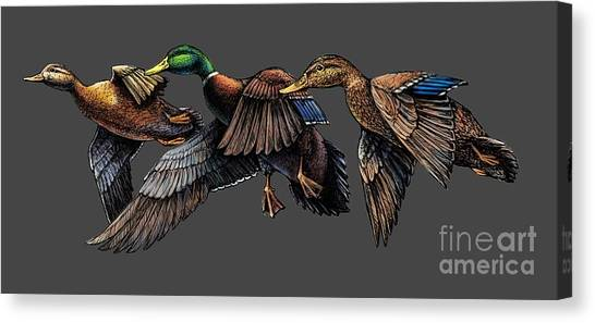 Mallard Ducks In Flight Canvas Print