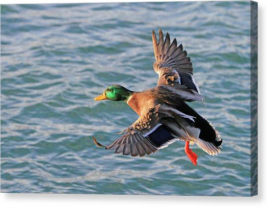 Mallard In Flight 3 Canvas Print
