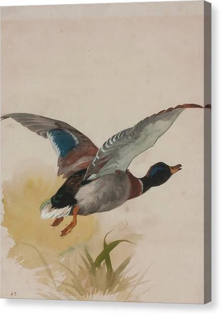 Peregrine Canvas Print - Mallard In Flight by Archibald Thorburn