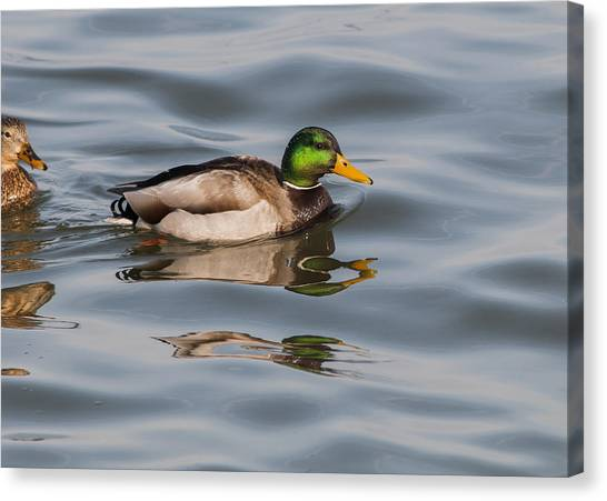 Mallards And Reflection Canvas Print