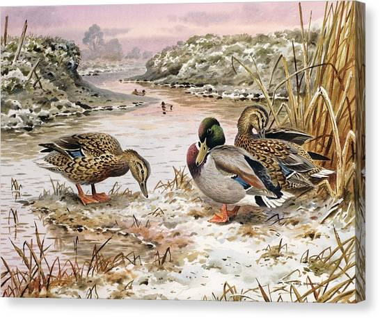 Snow Bank Canvas Print - Mallards In A Quiet Corner by Carl Donner