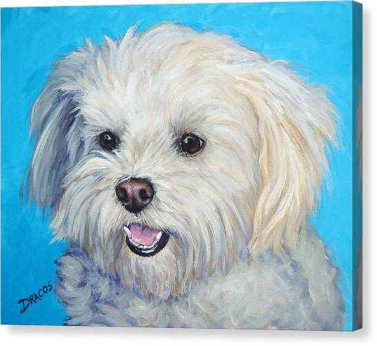 White Maltese Canvas Print - Maltese In Sunlight by Dottie Dracos