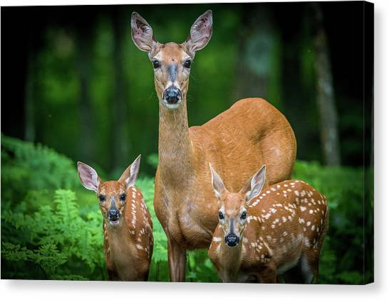 Mama And Fawns Canvas Print