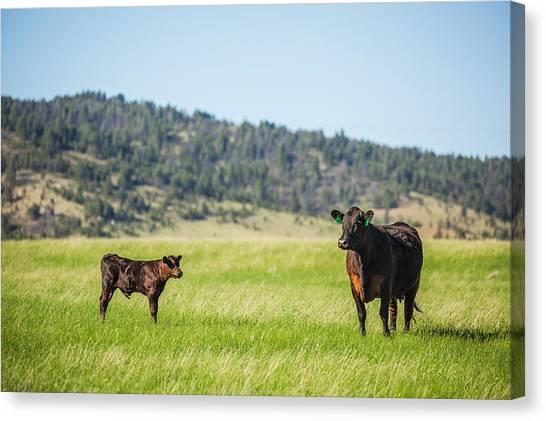 Angus Steer Canvas Print - Mama And Her Calf by Todd Klassy