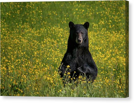 Black Bears Canvas Print - Mama Bear by Darylann Leonard Photography