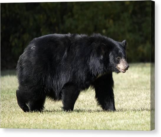 Black Bears Canvas Print - Mama Bear by Mike Dawson