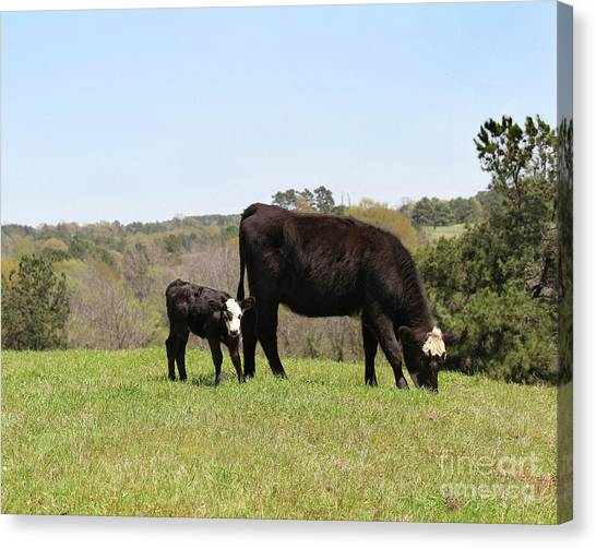 Mama Cow And Calf In Texas Pasture Canvas Print