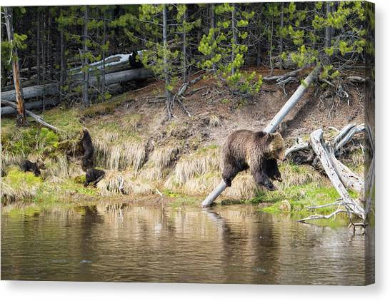 Mama Grizzly And Her 3 Cubs Canvas Print