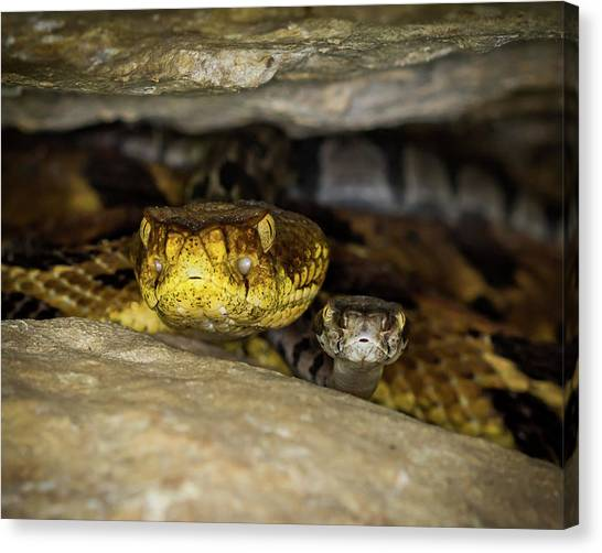 Timber Rattlesnakes Canvas Print - Mama Timber by Jakob Pammer