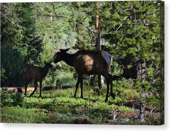 Elk Calf - Mother Rmnp Co Canvas Print