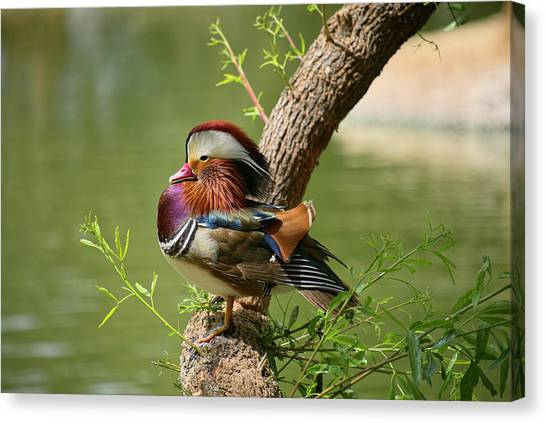 Mandarin Duck On Tree Canvas Print