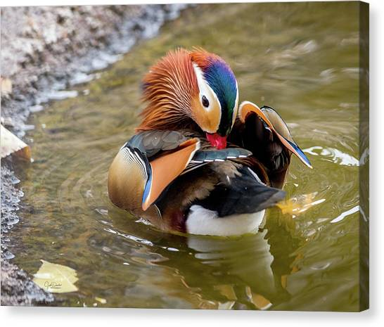 Mandarin Duck Preening Feathers Canvas Print
