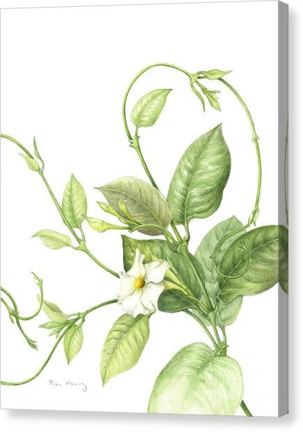 Mandevilla Vine Canvas Print by Fran Henig