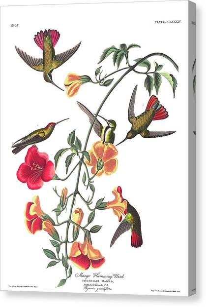 Mangos Canvas Print - Mango Hummingbird Bird by John James Audubon