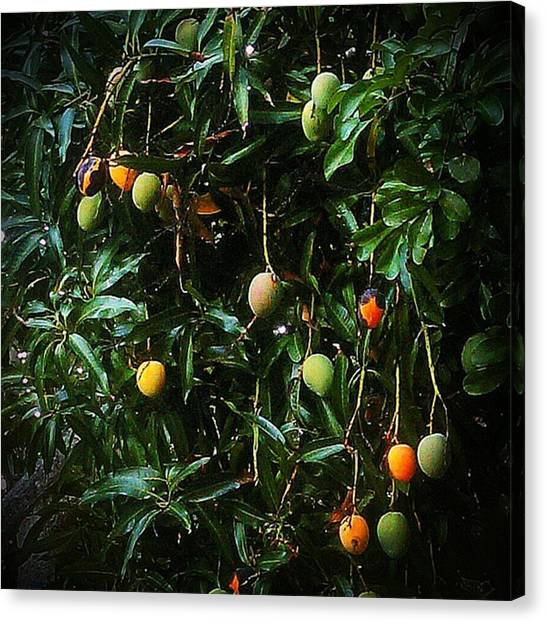 Mango Tree Canvas Print - Mango Tree by Rg Field