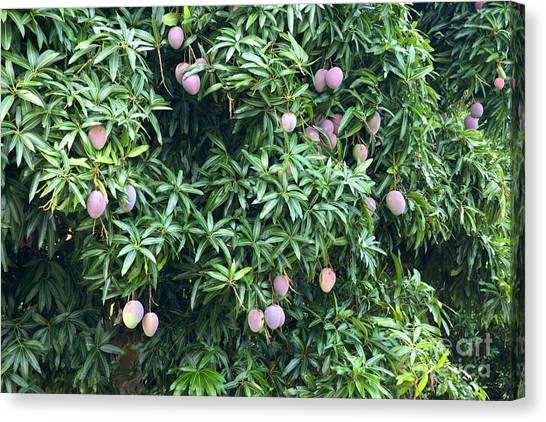 Mango Tree Canvas Print - Mango Tree by Inga Spence