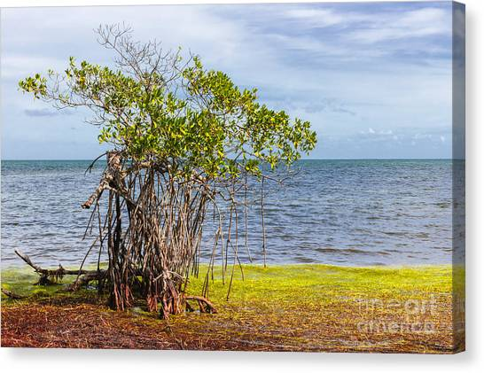 Mangrove Trees Canvas Print - Mangrove At Florida Keys by Elena Elisseeva