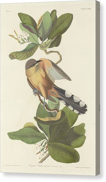 Cuckoos Canvas Print - Mangrove Cuckoo by Dreyer Wildlife Print Collections