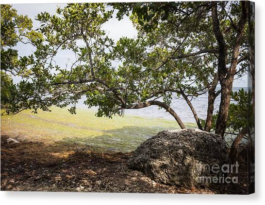 Mangrove Trees Canvas Print - Mangrove Forest by Elena Elisseeva