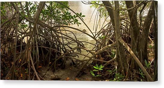 Mangrove Trees Canvas Print - Mangroves On New River by Matt Tilghman